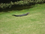 Gator left of the fairway 10 yards from our drive.