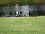 Gator sunning himself about 10 yards from our ball!